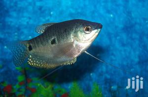 Silver Gourami | Fish for sale in Ashanti, Kumasi Metropolitan