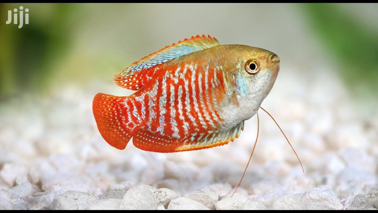 Dwarf Gouramis | Fish for sale in Kumasi Metropolitan, Ashanti, Ghana