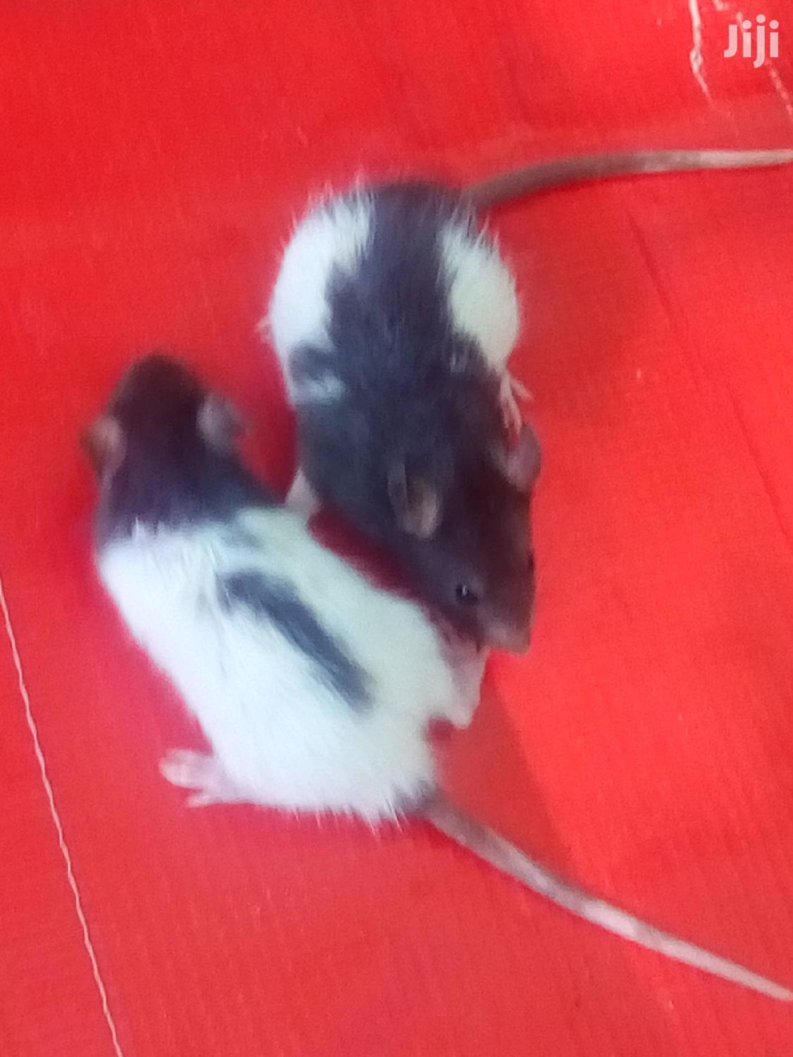 Fancy Mice For Sale   Other Animals for sale in Roman Ridge, Greater Accra, Ghana