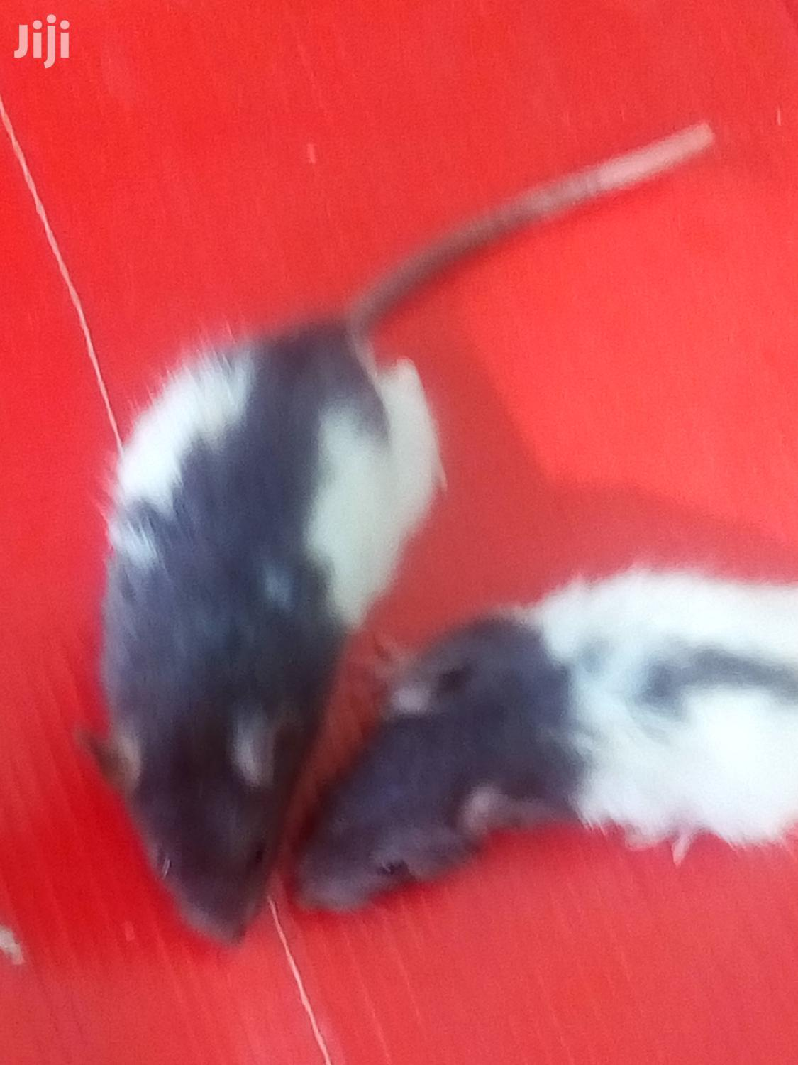 Black And White Mice For Sale