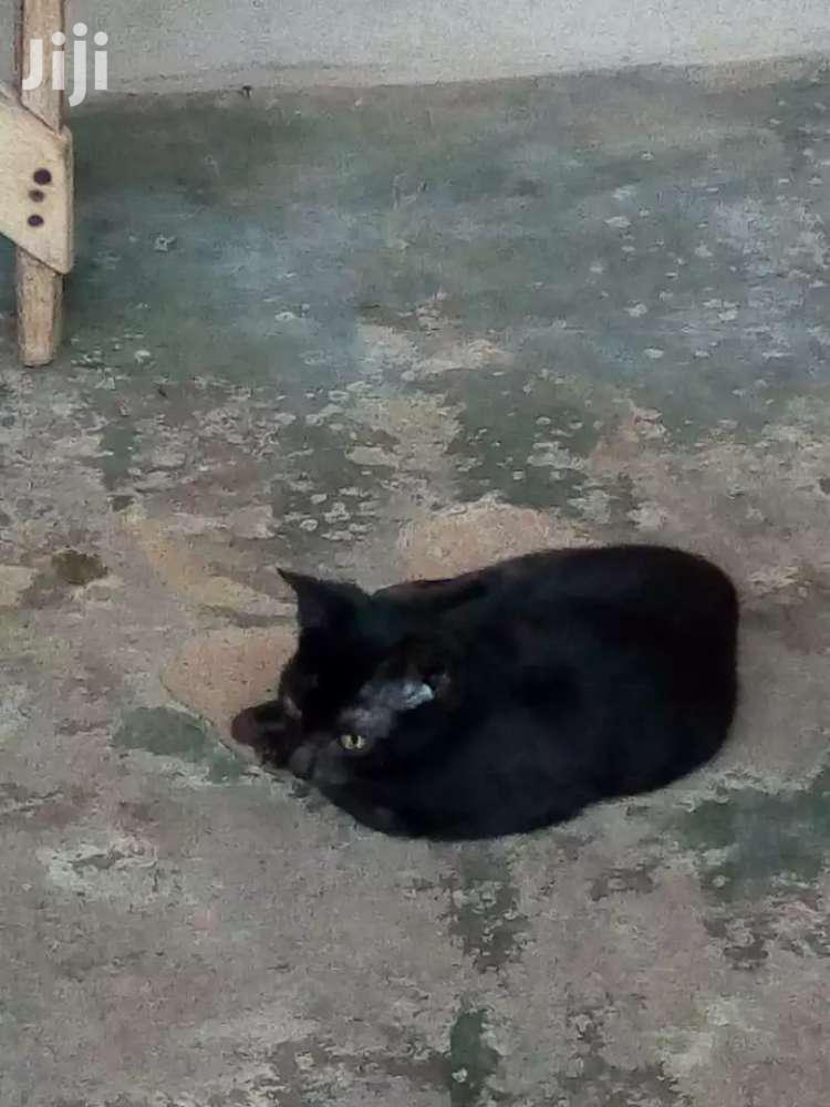 Archive: Baby Male Purebred Cat