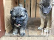 Young Female Purebred Caucasian Shepherd Dog | Dogs & Puppies for sale in Greater Accra, Tema Metropolitan
