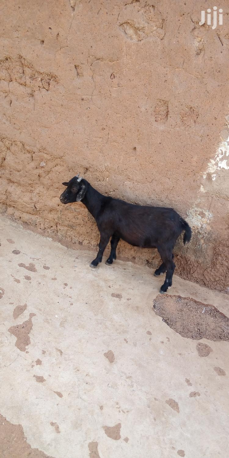 Archive: Goat For Sell