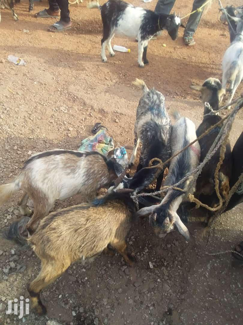 Archive: Goats For Sale