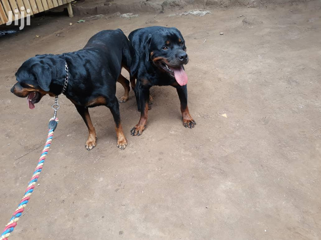 Baby Male Purebred Rottweiler | Dogs & Puppies for sale in Ga West Municipal, Greater Accra, Ghana