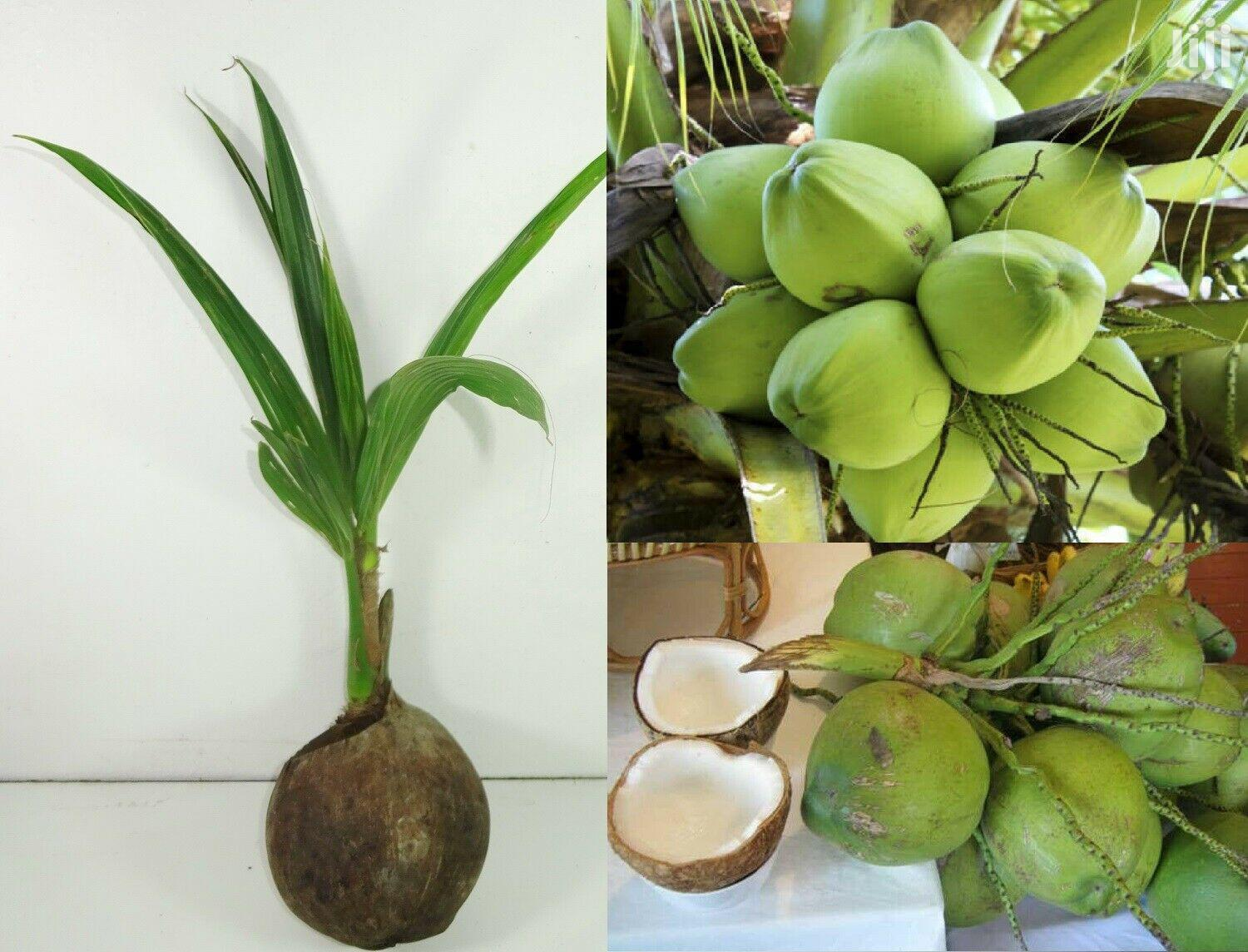 Dwarf Coconut Seedlings | Feeds, Supplements & Seeds for sale in Achimota, Greater Accra, Ghana