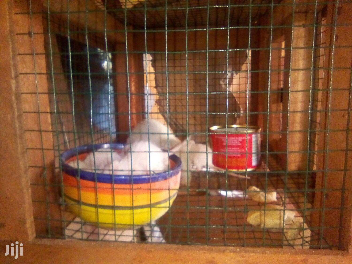 Loving Pet Mice For Sale | Other Animals for sale in Nima, Greater Accra, Ghana