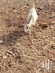 Goat | Livestock & Poultry for sale in Northern Region, Gushegu