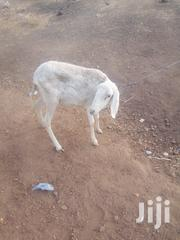 Sheep For Sell | Livestock & Poultry for sale in Northern Region, Gushegu