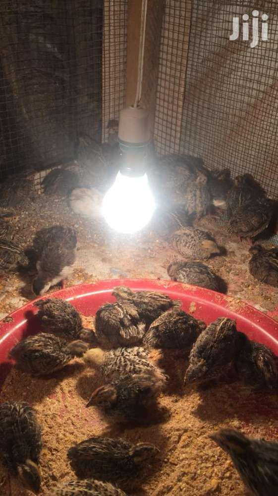 Day Old Quails Chicks For Sale At Affordableprices