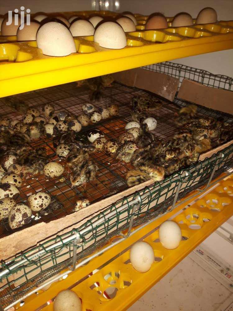 Day Old Quails Chicks For Sale At Affordableprices | Livestock & Poultry for sale in Kumasi Metropolitan, Ashanti, Ghana