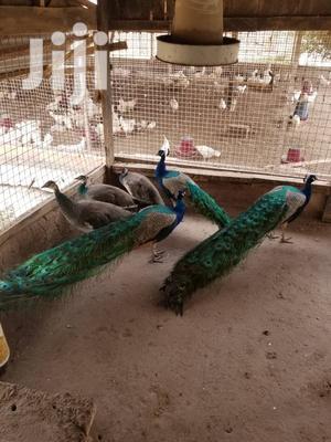 Peacocks Fir Sale