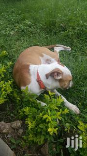 Young Female Purebred American Pit Bull Terrier | Dogs & Puppies for sale in Eastern Region, Suhum/Kraboa/Coaltar