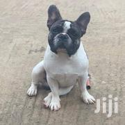 Adult Male Purebred French Bulldog | Dogs & Puppies for sale in Greater Accra, Tema Metropolitan