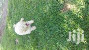 Young Male Purebred Poodle | Dogs & Puppies for sale in Greater Accra, Adenta Municipal