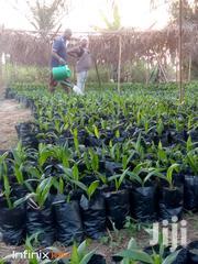 Hybrid Oil Palm Seedlings. | Feeds, Supplements & Seeds for sale in Central Region, Twifo/Heman/Lower Denkyira
