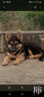 Young Male Purebred German Shepherd Dog | Dogs & Puppies for sale in Greater Accra, East Legon