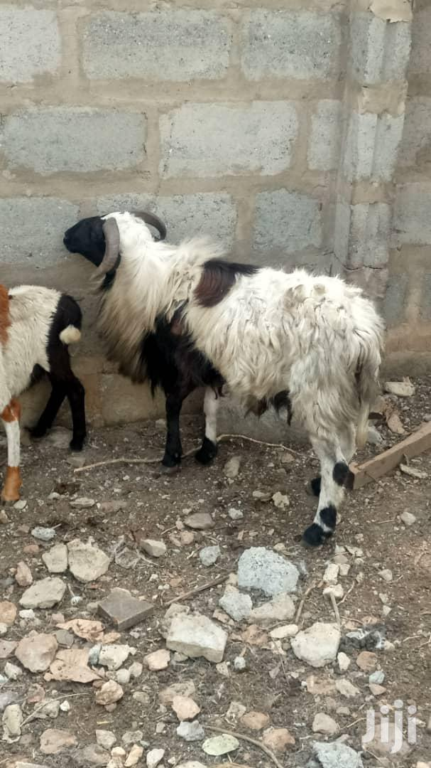 Archive: Solim Farms Goats,Sheep,Pigs Etc