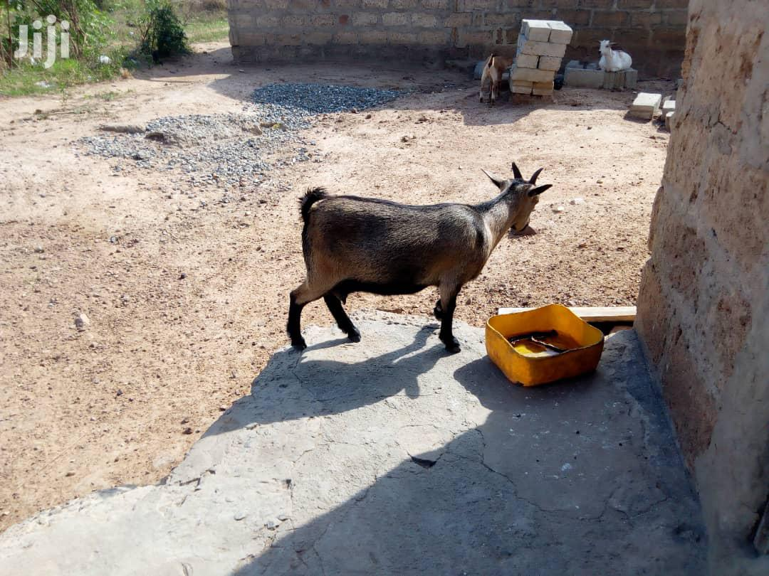 Archive: Goat For Sale In Very Good Health Call Now