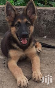 Young Female Purebred German Shepherd Dog | Dogs & Puppies for sale in Greater Accra, East Legon