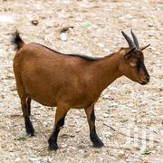 Goat For Sell | Livestock & Poultry for sale in Northern Region, Saboba
