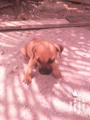 Baby Female Purebred American Pit Bull Terrier | Dogs & Puppies for sale in Greater Accra, Odorkor