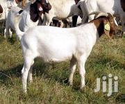 Goat For Sell | Livestock & Poultry for sale in Northern Region, Gushegu