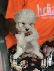 Baby Male Purebred Poodle | Dogs & Puppies for sale in Greater Accra, Kwashieman