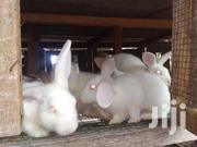 Matured Rabbits For Sale | Livestock & Poultry for sale in Greater Accra, Tema Metropolitan