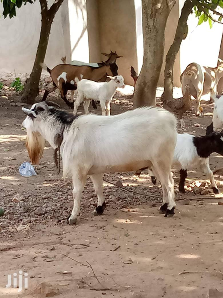 Archive: Male Goat Tall And Fat