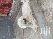 Adult Female Purebred Poodle | Dogs & Puppies for sale in Greater Accra, Alajo