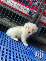 Baby Male Mixed Breed Poodle | Dogs & Puppies for sale in Greater Accra, East Legon