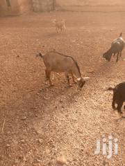 Goat For Selling | Livestock & Poultry for sale in Northern Region, Saboba