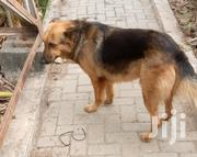 Adult Male Purebred German Shepherd Dog | Dogs & Puppies for sale in Greater Accra, Tema Metropolitan