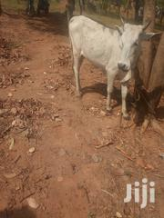 Caw And Goat Cool Price | Livestock & Poultry for sale in Northern Region, Gushegu