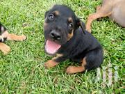 Baby Male Mixed Breed Rottweiler | Dogs & Puppies for sale in Greater Accra, East Legon (Okponglo)