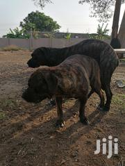 Adult Female Purebred Boerboel | Dogs & Puppies for sale in Greater Accra, Adenta Municipal