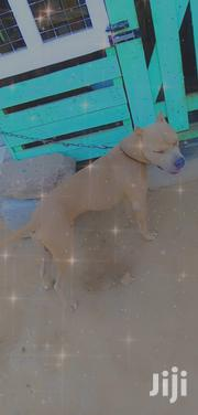 Young Male Purebred American Pit Bull Terrier | Dogs & Puppies for sale in Greater Accra, Ashaiman Municipal