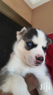 Baby Male Purebred Siberian Husky | Dogs & Puppies for sale in Greater Accra, Tema Metropolitan