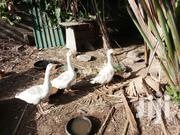 Goose And Ganders For Sale | Livestock & Poultry for sale in Greater Accra, Adenta Municipal