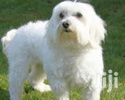 Adult Female Purebred Maltese | Dogs & Puppies for sale in Greater Accra, Ga West Municipal
