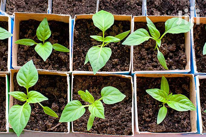 Archive: Vegetable Plant And Seeds For Sale