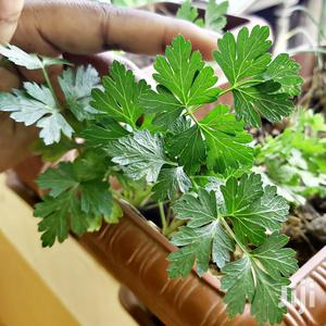 Vegetable Plant And Seeds For Sale