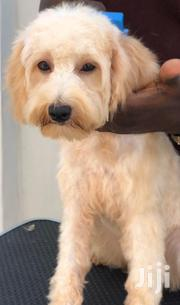 Baby Female Purebred Poodle | Dogs & Puppies for sale in Greater Accra, Ga East Municipal