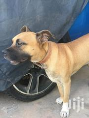 Adult Male Mixed Breed American Pit Bull Terrier | Dogs & Puppies for sale in Greater Accra, Dansoman