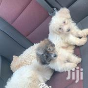 Baby Female Purebred Poodle | Dogs & Puppies for sale in Greater Accra, Achimota
