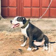 Adult Male Purebred American Pit Bull Terrier | Dogs & Puppies for sale in Greater Accra, Accra Metropolitan