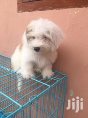 Young Male Purebred Poodle | Dogs & Puppies for sale in Greater Accra, Tema Metropolitan