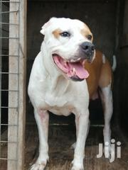 Adult Male Purebred American Pit Bull Terrier | Dogs & Puppies for sale in Greater Accra, East Legon