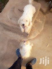 Adult Male Purebred Poodle | Dogs & Puppies for sale in Greater Accra, Achimota